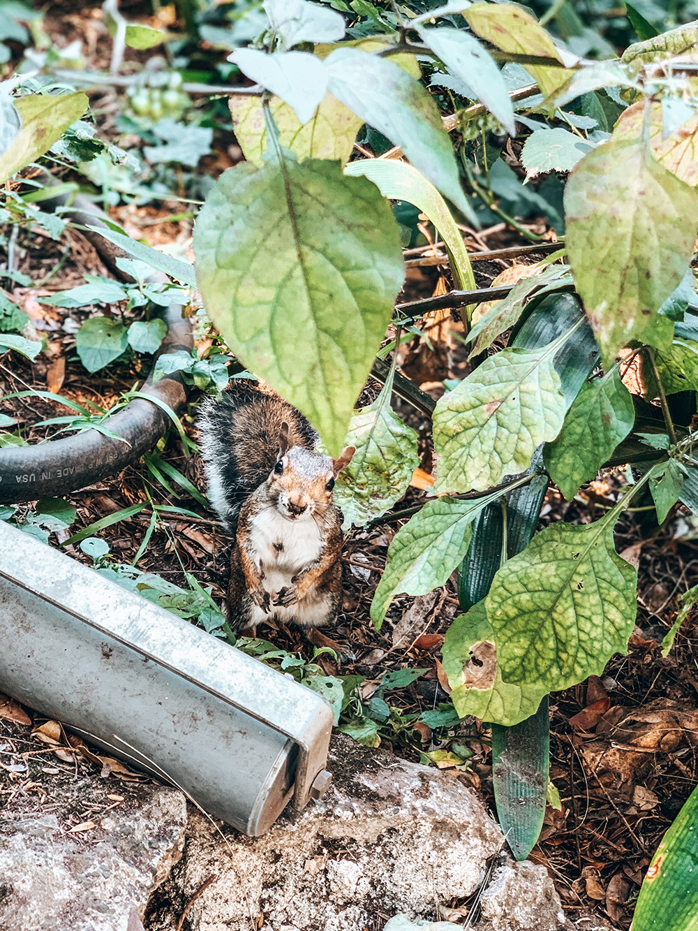Ecureuil dans le Golden Gate Park